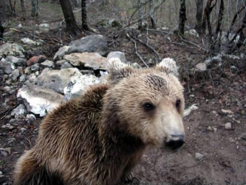 Velebit Bär
