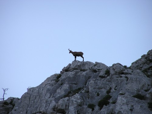 Nationalpark Velebit Bergziege