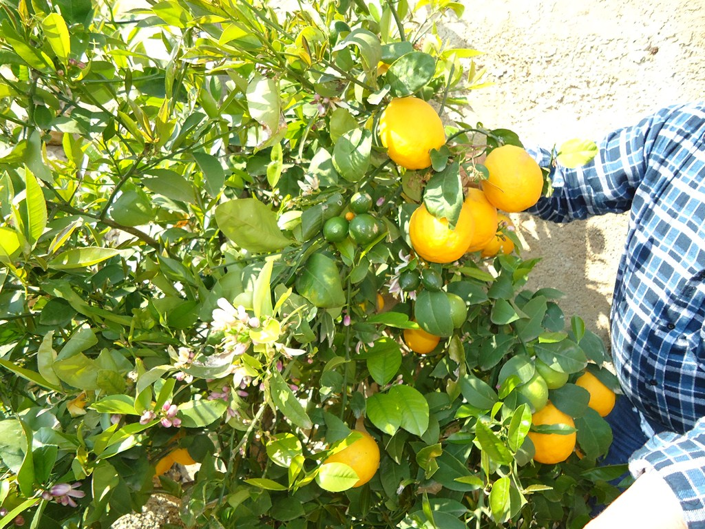 Zitronen-Hvar