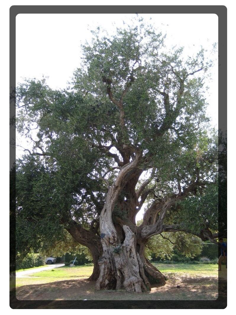 Altes Olivenbaum