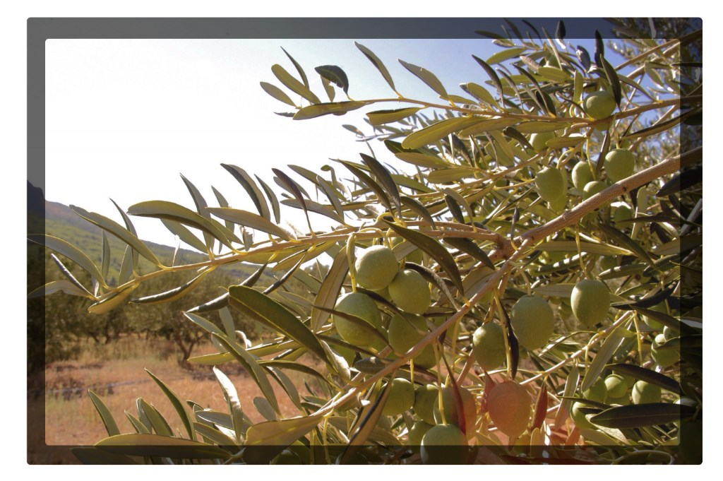 Oliven Dalmatien